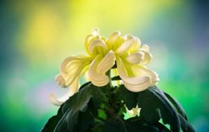 Chryschrysanthemums