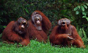 Orangutans Laughing