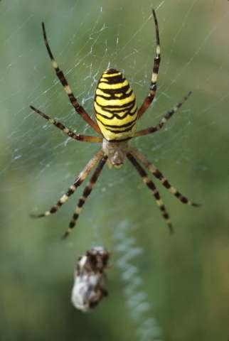 Weibchen im Netz
