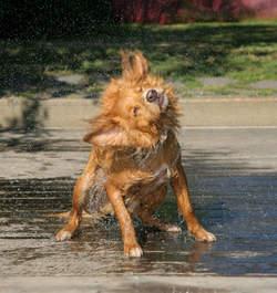 Hond na het zwemmen