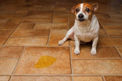 Hond met verlatingsangst plast in huis