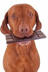 Vergiftiging hond en chocolade