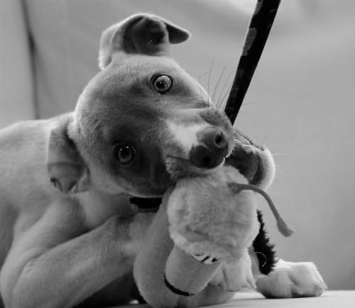 pup bijt speelgoed