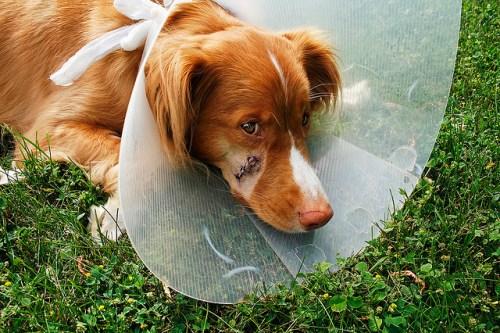 gewonde hond