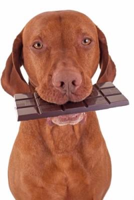chocoladevergiftiging hond