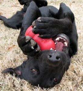 Hond met Kong speelgoed