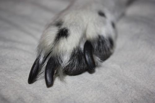 griffe chien trop longue