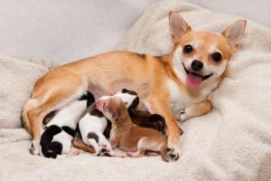 Suivi de la chienne et ses chiots