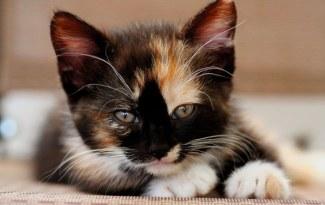Exemple de chaton tricolore