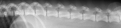 colonne vertebrale chien