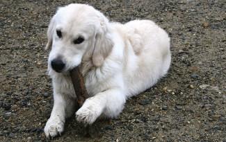 chien mâchouille tout