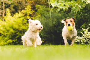 Chiens jouant à la balle