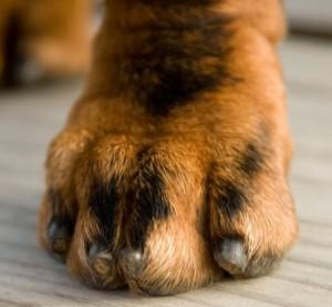D fi 22 pourquoi et comment couper les griffes de son chien le blog du site direct vetle - Comment couper les ongles de chien ...
