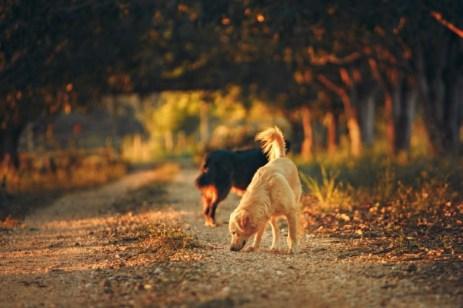 Reniflage chien