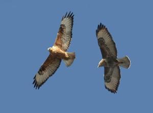 Couple de buses - oiseaux