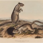 John James Audubon, Spermophilus Douglassii (Two Douglas Squirrels), 1844
