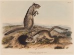 "John James Audubon, ""Spermophilus Douglassii (Two Douglas Squirrels),"" 1844, hand-colored lithograph, Dallas Museum of Art, Dallas Art Association Purchase, 1949.62"