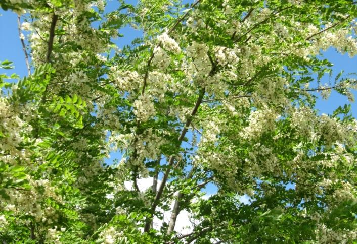 robinia-blossoms