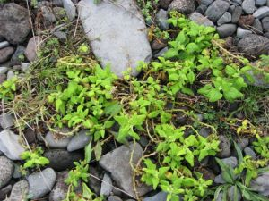 New Zealand spinach on the rocky shore. Photo: Herb Christophers.