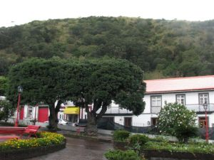 Pohutukawa planted in a park on Sao Jorge. Photo: Herb Christophers.