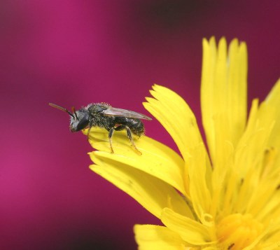 A native bee collecting pollen.