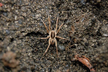 A wolf spider found between Northland New Zealand and Tonga.