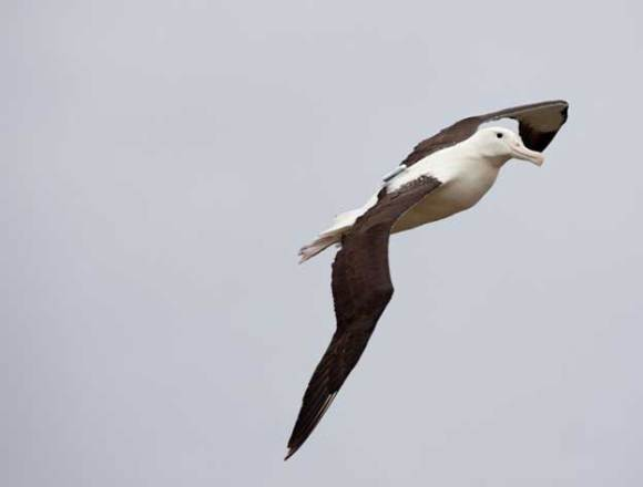 Albatross at Taiaroa Head.
