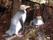 Yellow-eyed penguins on Codfish Island