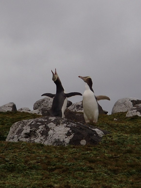 When yellow-eyed penguins raise their head in an ecstatic display of calling they live up to their Maori name of hoiho, or noise-shouter (photo: Alison Ballance).