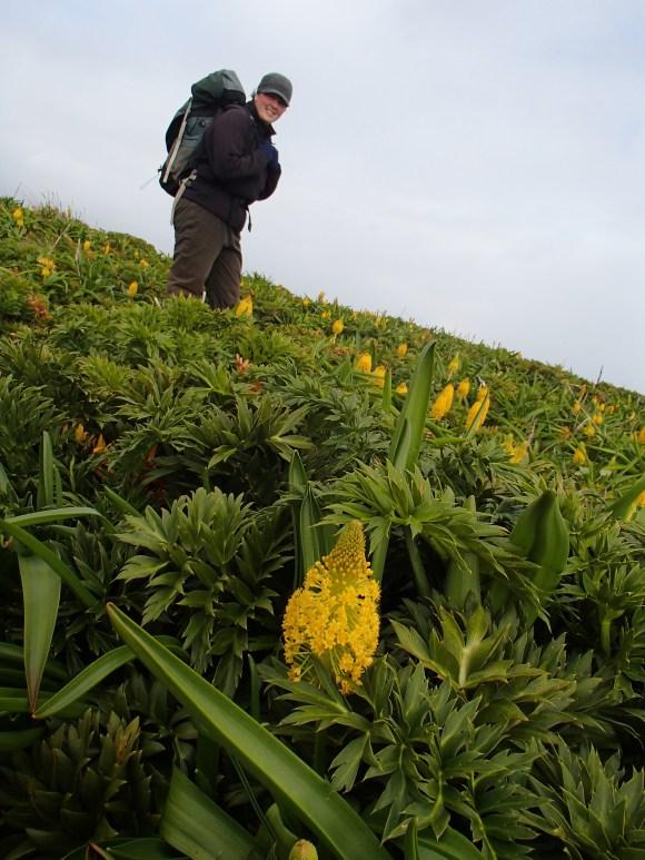 Jo Hiscock amongst the megaherb Bulbinella flowering on Enderby Island (photo: Alison Ballance).