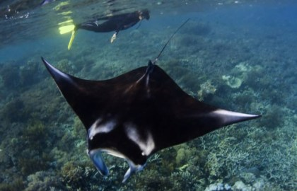 Thelma Wilson snorkeling with a manta ray in Indonesia.