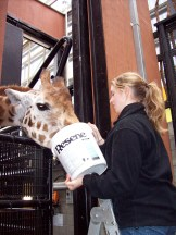 Kelly feeding a giraffe at Wellington Zoo.