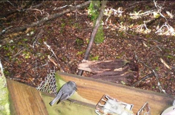 A robin sitting on a trap at Lake Sylvan.