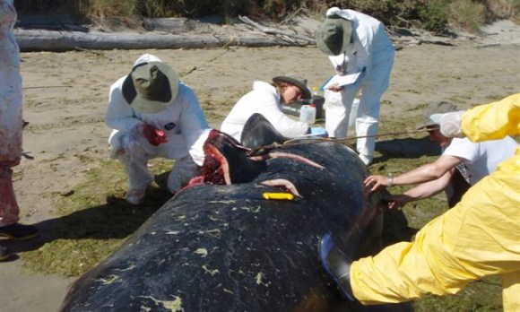 Taking samples from a dead whale.