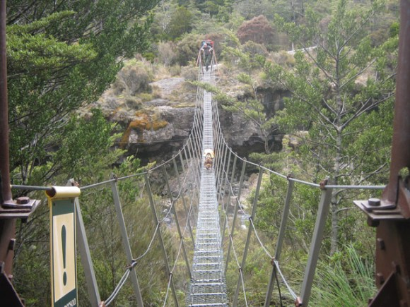 Fern the whio dog crossing a swing bridge.