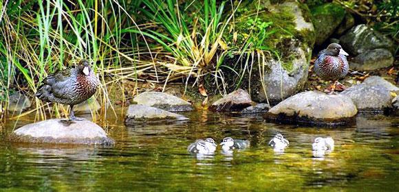 Waiiti blue duck ducklings.