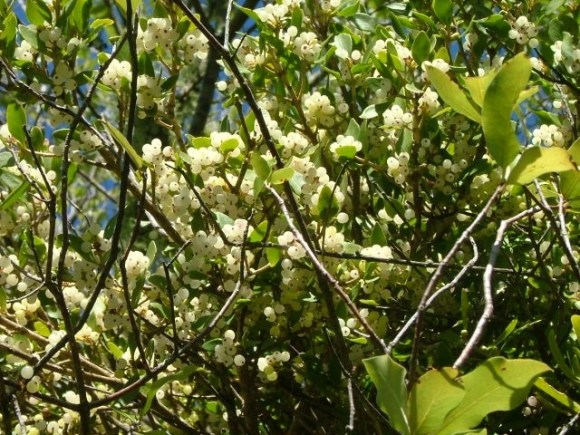 The white mistletoe fruit growing on the plant.