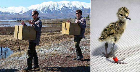 Left: Cody and Glen carry juvenile kakī for release. Right: Young kaki chick only days old.