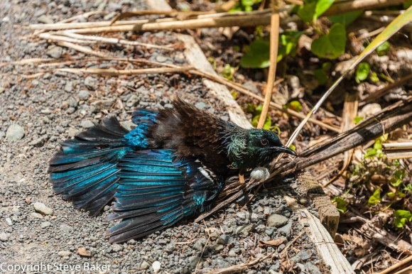 Tui having a dust bath.