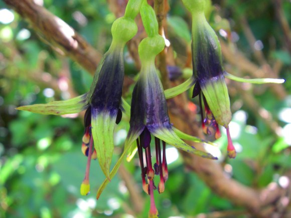 Three kotukutuku flowers hang from a branch at Catchpool, near Wellington. Photographer: Tandy, Brent.