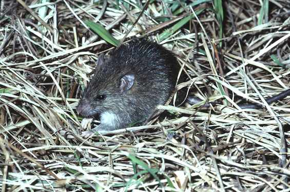 Kiore/Pacific rat, Little Barrier Island, 1975.