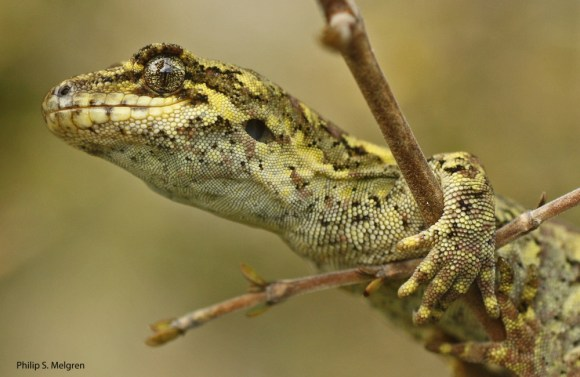 southern-forest-gecko-close-up