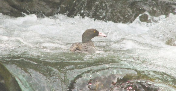 A whio swimming in a fast flowing river.
