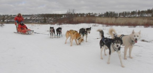 Stacey on a dogsled on the Yukon River.