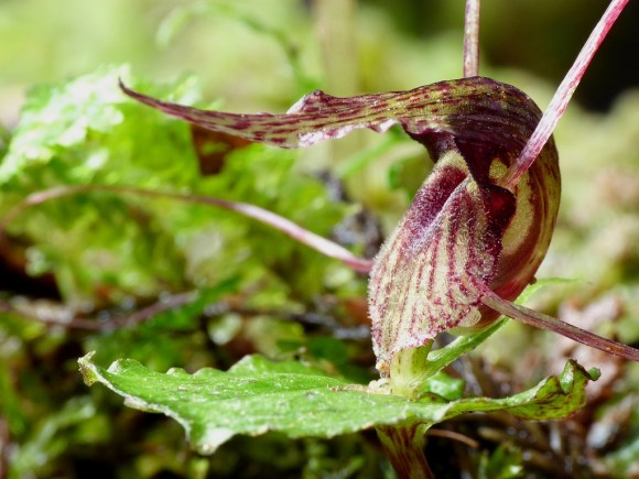 Dancing Spider Orchid. Photo copyright: Steve Reekie