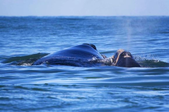 A Southern right whale and her calf off the coast of Whanganui.