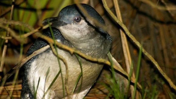 Little blue penguin. Photo: Brian Gratwicke.