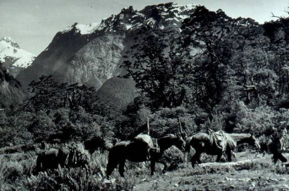 A group of pack horses on the Milford Track.