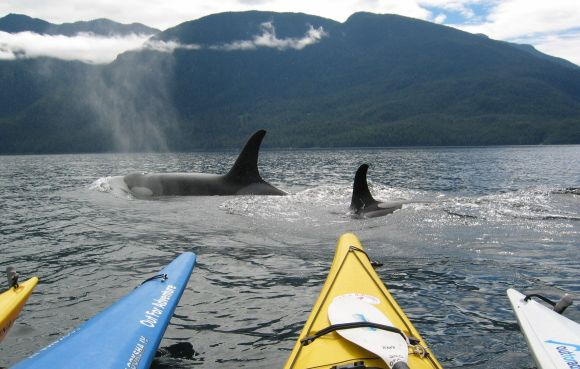 Robyn Crisford sea kayaking near orca.