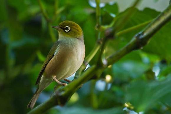 Silvereye or wax-eye. Photo: Jason Milich.